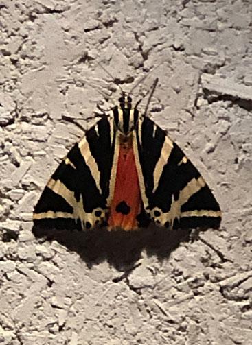 papillon de nuit noir or et rouge, au soleil